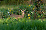 Cautious white-tailed deer