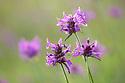 Betony (Betonica officinalis), Rough Bank SSSI, a flower-rich limestone grassland reserve. Gloucestershire, July.