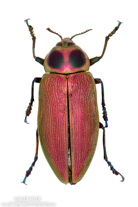 Jewel Beetle (Buprestidae) Museum specimen, unknown origin. website