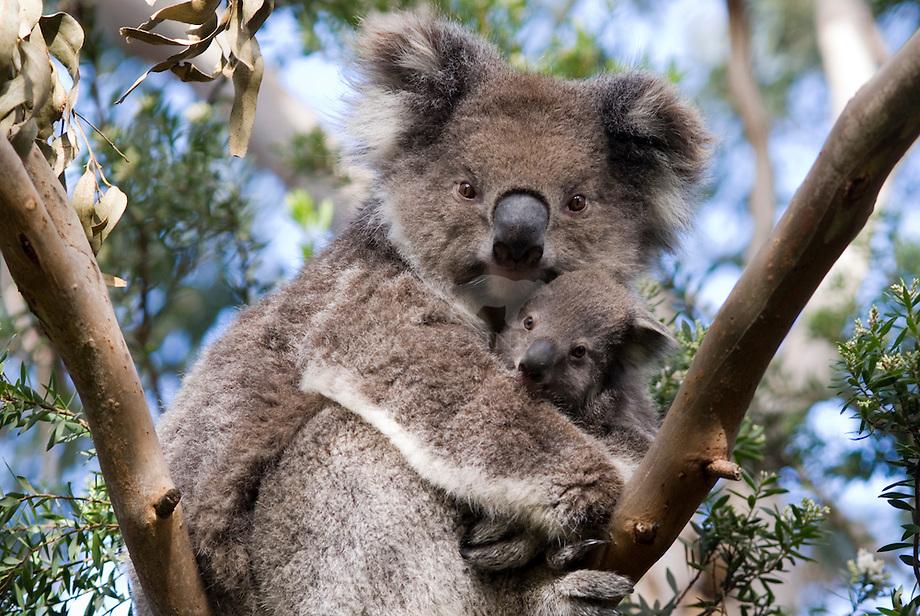 Koala (Phascolarctos cinereus) met jong, Australi'