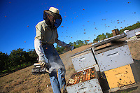 At Dave Hackenberg's apiary near Wanchula, Florida: preparation of the hives for the migration.