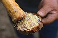 """Europe/France/Languedoc-Roussillon/66/Pyrénées-Orientales/Banyuls-sur-Mer: recettes de la Sanch, tartine de l'aïoli pour la """"Cargolade"""""""