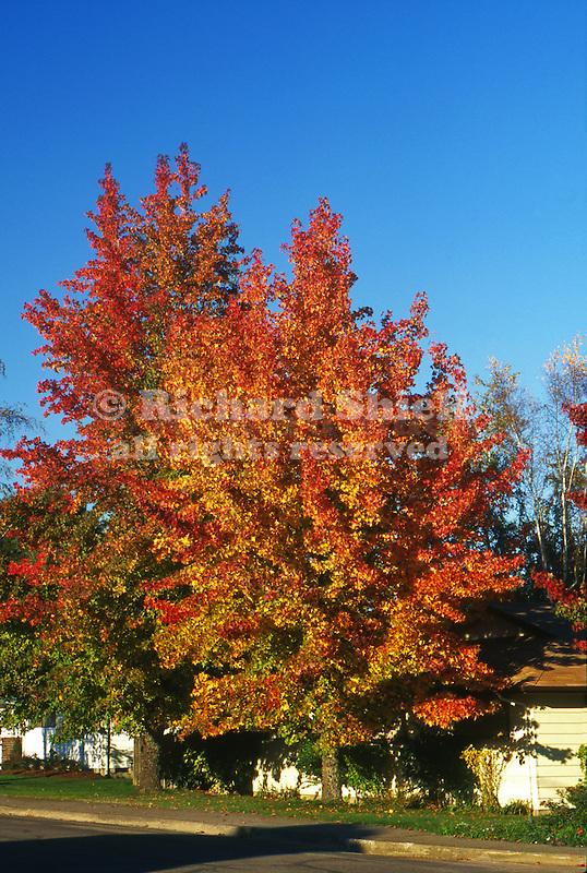 11143-CD American Sweet Gum, Liquidambar styraciflua, deciduous trees in fall color, at McMinnville, Oregon