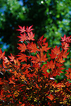 5439-CD Oshio-Beni Japanese Maple, Acer palmatum `Oshio-Beni', backlit foliage, at Dallas Botanical Garden, Texas