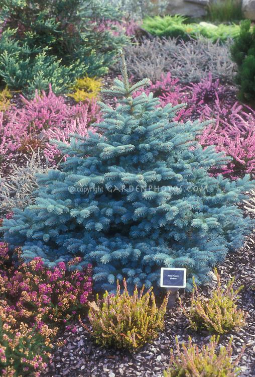 Dwarf blue spruce Picea pungens Globosa with heaths and heathers in garden