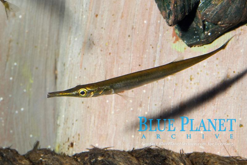 Tubesnout (Aulorhynchus flavidus) (c)