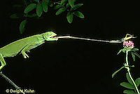CH04-030z  African Chameleon - catching prey with long tongue - Chameleo senegalensis