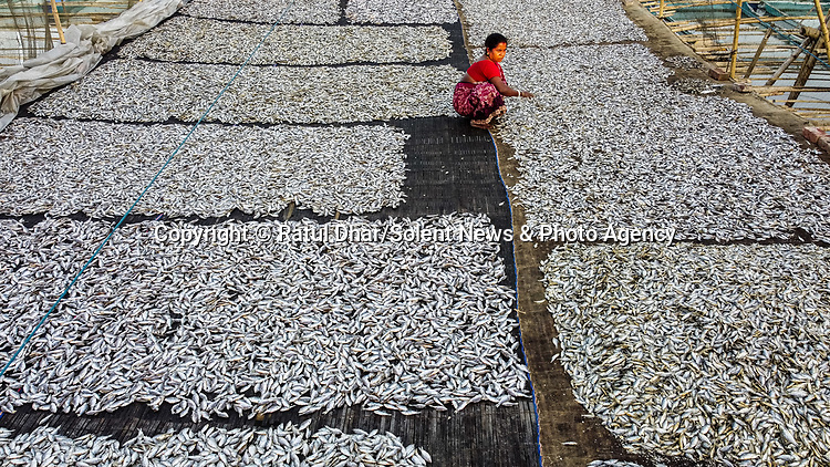 Pictured:   Aerial photographs show piles of fish drying on bamboo mats.<br /> <br /> Thousands of the little 'puti' fish are caught in a nearby river before being processed by workers in Bangladesh.<br /> <br /> They are then packaged and sent for distribution across the country and beyond.  SEE OUR COPY FOR FULL DETAILS.<br /> <br /> Please byline: Ratul Dhar/Solent News<br /> <br /> © Ratul Dhar/Solent News & Photo Agency<br /> UK +44 (0) 2380 458800