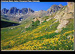 Alpine wildflowers in the American Basin (12,300 feet) below Cinnamon Pass, San Juan Mountains, southwest Colorado, USA