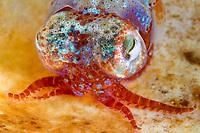 bobtail squid, Little cuttlefish, Sepiola atlantica, Bergen, Hordaland, Norway, North Atlantic Ocean