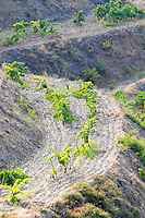 Llicorella soil. Terraced vineyard. Priorato, Catalonia, Spain