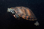 Northern Red-bellied Cooter swiiming left in Burrage Pond, Hanson, MA