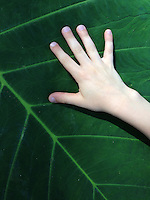 Six-Year-Old's Hand on Big Leaf, Lahaina, Maui, Hawaii, US