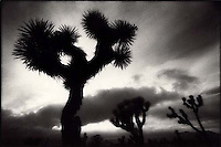 Joshua Trees Sihlouetted by Sunset, Joshua Tree National Park, CA<br />