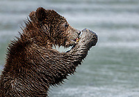 Brown Bear spring cub eats clams on mud flats on coast of Lake Clark National Park.  Silver Salmon Creek area.  Chigmit Mountains Western Alaska  Summer<br /> <br /> Photo by Jeff Schultz/  (C) 2020  ALL RIGHTS RESERVED