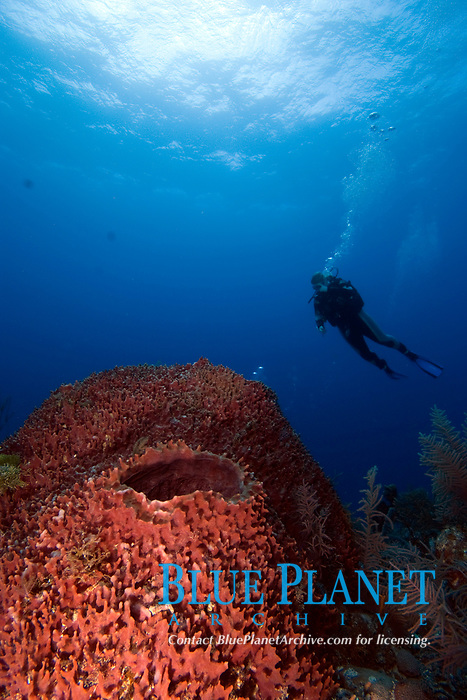 Diver looking at giant barrel sponge, xestospongia muta, can grow to 2m/6.5ft. They are common throughout the caribbean, and can live to over 100 years old.