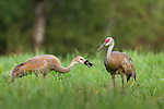 Sandhill crane eating a red-winged blackbird