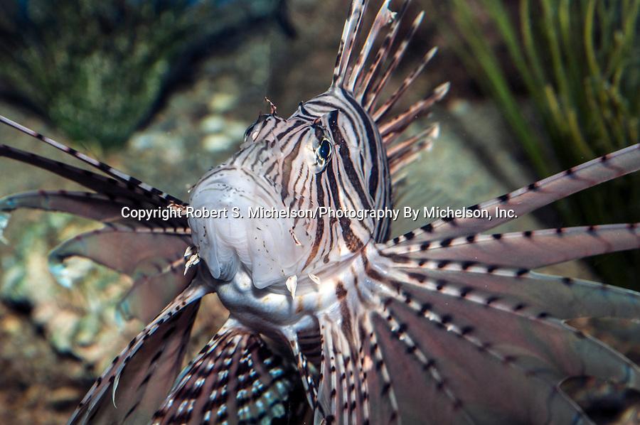 red lionfish, medium shot looking up at camera