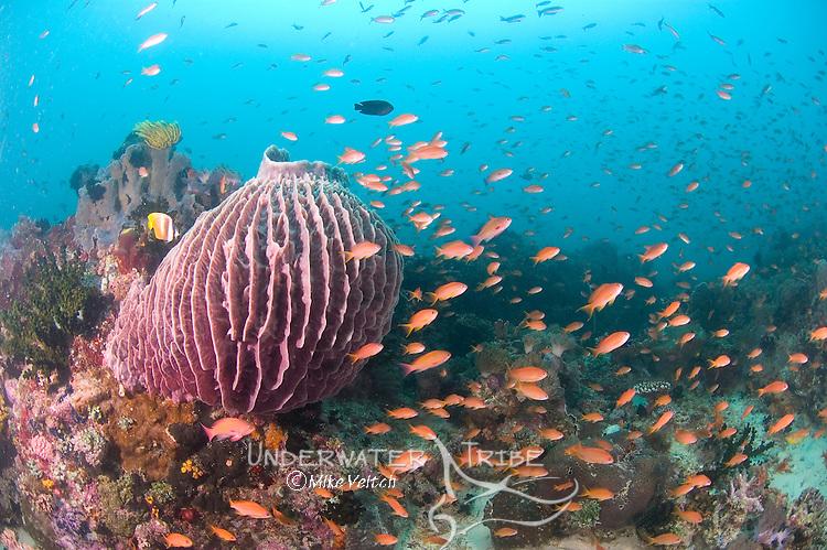 Giant barrel sponge, Xestospongia sp., and schooling anthias, Pseudanthias sp., Anilao, Batangas, Luzon, Philippines, Pacific Ocean