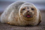 """MAIN IMAGE<br /> <br /> Pictured:    A young seal pup lies on a beach and sticks its tongue out.<br /> <br /> The common seal rolls around on the shore and appears to pose for the camera while waiting for its mother to return from with food.<br /> <br /> Amateur photographer Chris Hobbs captured the endearing pictures on Mablethorpe beach in Lincolnshire.<br /> <br /> The 36-year-old from Bedford, Bedfordshire, said: """"Whilst walking back down the beach I came across this little guy laying down. SEE OUR COPY FOR FULL DETAILS.<br /> <br /> <br /> Please byline: Chris Hobbs/Solent News<br /> <br /> © Chris Hobbs/Solent News & Photo Agency<br /> UK +44 (0) 2380 458800"""