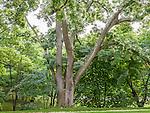 Japanese Pagoda Tree at the Arnold Arboretum in the Jamaica Plain neighborhood, Boston, Massachusetts, USA