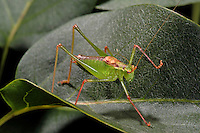 Punktierte Zartschrecke, Gewöhnliche Zartschrecke, Männchen, Leptophyes punctatissima, Speckled bush-cricket, Speckled bush cricket, male, Tettigoniidae