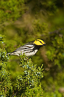 591850031 a wild federally endangered male golden-cheeked warbler setophaga chrysoparia - was dendroica chrysoparia - perches in a fir tree on los madrones ranch near austin travis county texas