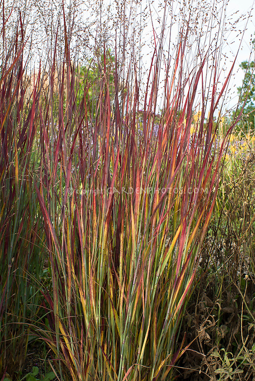 Panicum virgatum 'Heiliger Hain' in autumn fall foliage color ornamental grass, blue switch grass in vibrant mixed colour in autumn, red, orange, yellow, green, in flower against sky
