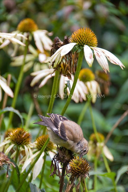 Goldfinch juvenile bird eating Echinacea purpurea seeds flower plant in garden, backyard bird attracting wildlife to the garden, bird on flower eating seeds