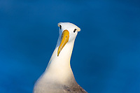 Waved albatross close-up portrait with blue ocean background, a critically endangered species, nesting on Espanola Island, Galapagos, Ecuador