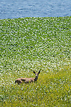 Point Reyes National Seashore, California; a Columbian black-tailed deer (Odocoileus hemionus columbianus) feeding on the water plants growing at the edge of Abbotts Lagoon