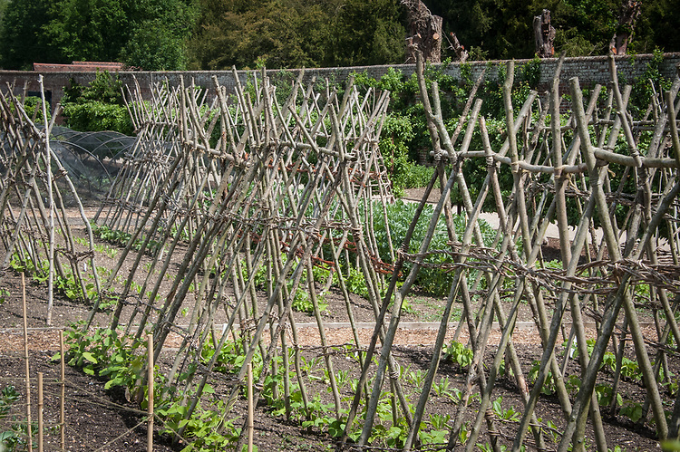 Hazel supports for climbing beans, Audley End, late May.