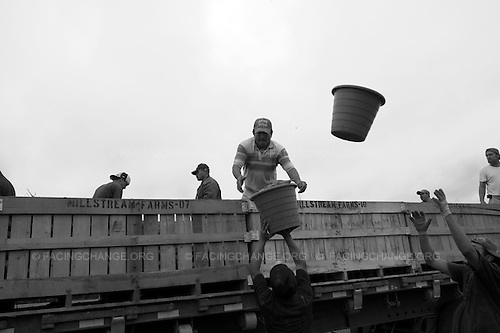 Kinston, North Carolina<br /> September 2011<br /> <br /> Sweet potato pickers load trucks with sweet potatoes as they pick through a field. The workers get paid for each bushel which earned them $.40 per bushel and a bushel weighs about 35 to 40  pounds.  Workers earn about $48 to $60 per day after picking through a field.  Some of the workers are as young as 18 and as old as 70 years old.