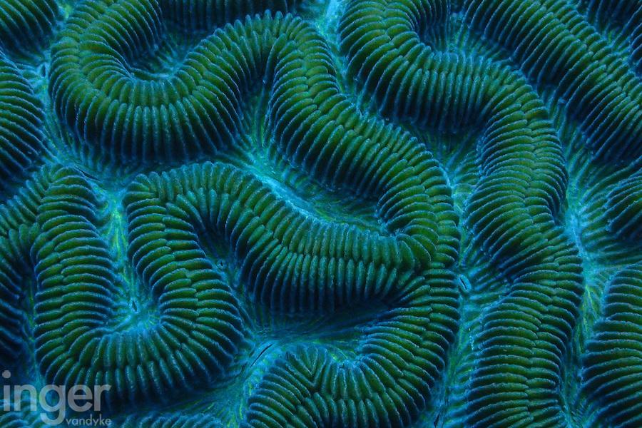 Brain Coral at Jardines de la Reina, Cuba