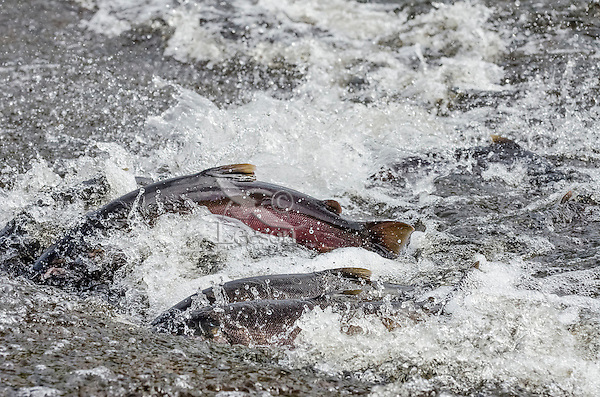 Wild Coho or Silver Salmon (Oncorhynchus kisutch) on fall spawning migration, swimming up shallow river.  Pacific Northwest.  October.  Wild fish not hatchery fish.  There are at least six salmon in this photo.