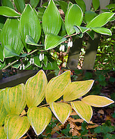 Polygonatum odoratum var. pluriflorum 'Variegatum'  in two different stages, flower and fall autumn foliage composite picture