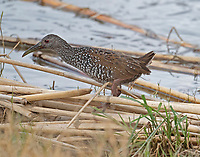 Spotted rail