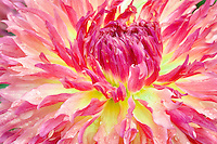 Dahlias variety Myrtle's Folly. Swan Island Dahlia Farm. Oregon