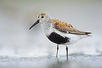 Adult Dunlin (Calidris alpina) molting into breeding (alternate) plumage during spring migration. Gray's Harbor County, Washington. April.