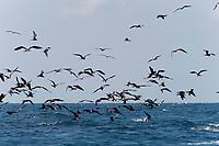 frigate birds, Fregata sp., and Atlantic sailfish, Istiophorus albicans, attacking bait ball of Spanish sardines (aka gilt sardine, pilchard, or round sardinella), Sardinella aurita, off Yucatan Peninsula, Mexico (Caribbean Sea)