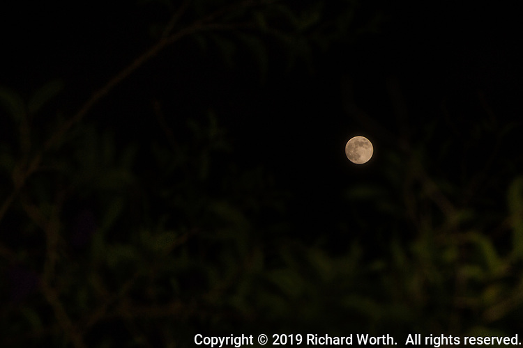 The day before it becomes the Full Flower Moon, the nearly full moon hovers over the soft-focus leaves and branches of a backyard bush.