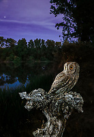 Eurasian Scops Owl (Otus scops), Salamanca, Castilla y León, Spain