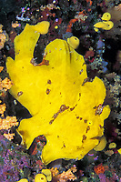 yellow longlure frogfish with yellow sponges and soft corals, Fiji