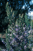 Rosmarinus 'Severn Seas' in flower, rosemary, Mediterranean shrub, herb, scented aromatic foliage