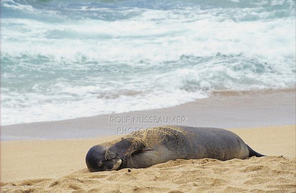 Hawaiian Monk Seal, Monachus schauinslandi, adult resting at beach, Kauai, Hawaii, USA, August 1996