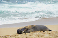Hawaiian Monk Seal, Monachus schauinslandi, adult resting at beach, Kauai, Hawaii, USA, August 1996