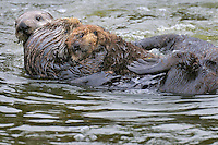Sea Otter (Enhydra lutris) mother with young pup being investigated by third sea otter. Mother protects baby by keeping herself between other adult and baby.