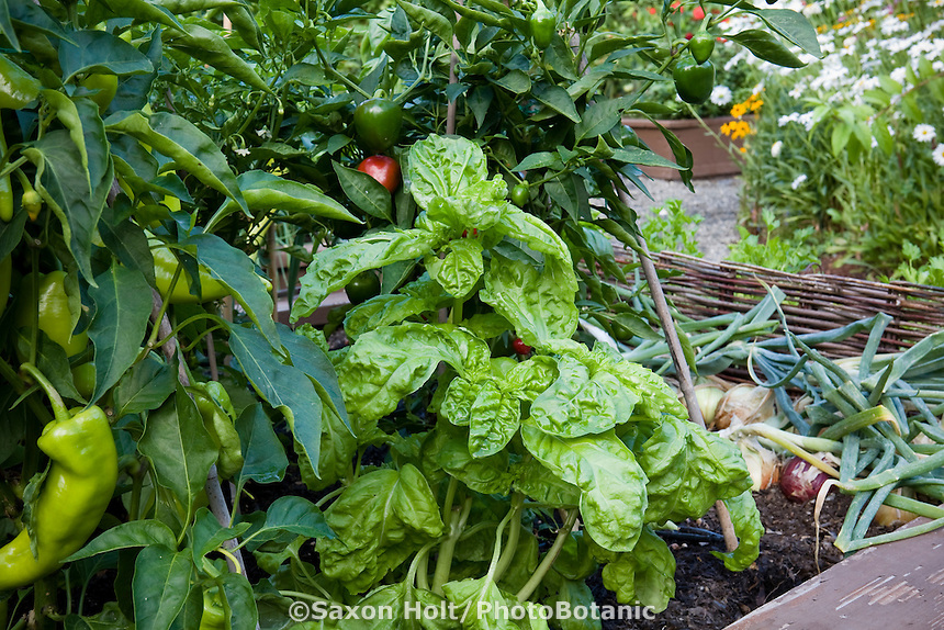 'Mammoth' Basil, Ocimum basilicum, culinary herb in raised bed small space organic garden with peppers and onions