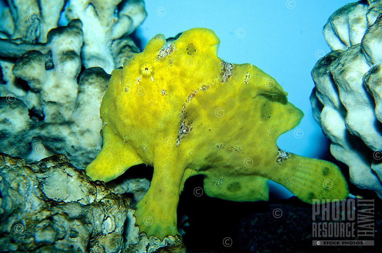 The Commerson's Frogfish (Antennarius commersonii) is a master of disguise and an odd sight on Hawaii's coral reefs. This one is on display at the Waikiki Aquarium, Oahu.