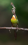 Bee eater catches butterfly by Vinay Badhe